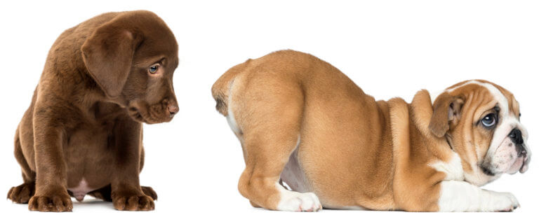 Labrador retriever puppy looking at the butt of an English Bulldog and puppy, isolated on white